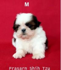 ลูกสุนัขชิสุเกิดวันที่ 11/10/2560