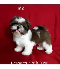 ลูกสุนัขชิสุเกิดวันที่ 8/02/2562 - M2