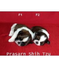 ลูกสุนัขชิสุเกิดวันที่ 19/12/2562 - เพศเมีย (Available Now)
