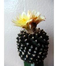 กระบองเพรช Copiapoa tenuissima