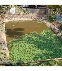 การเลี้ยงปลาซิวในบ่อพลาสติก อาชีพเสริมรายได้ (ฉบับละเอียด)