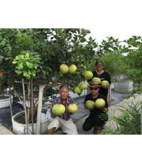 หนุ่มวิศวะ ปลูกมะนาว และส้มโอพลอยชมพู ปลูก 1 ไร่ โกยรายได้มากกว่าปีละ 2 แสน