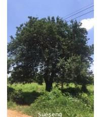 ต้นแจ้ง (ไม้มงคล)