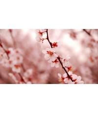 หัวน้ำหอมกลิ่น beauty blossom
