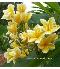 Leelawadee Fragrance ดอกลีลาวดีเหลือง (1 kg)