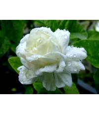 หัวน้ำหอม Jasmine มะลิซ้อน 450 ml.