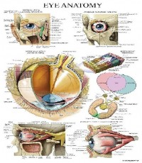 Anatomical : ANCAMZ002* โปสเตอร์รูปภาพ Chart Eye Anatomical Poster