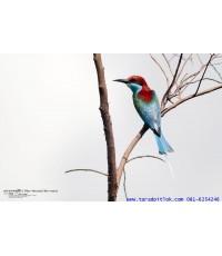 ขายลิขสิทธิ์ภาพนกจาบคอสีฟ้า (Blue-Throated-Bee Eater)
