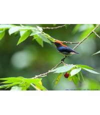 ขายลิขสิทธิ์ภาพนกชมพูสวน (Scarlet-backed Flowerpecker)