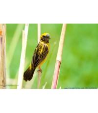 ขายลิขสิทธิ์ภาพนกกระจาบทอง (Asian Golden Weaver)