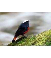 ขายลิขสิทธิ์ภาพนกเขนหัวขาวท้ายแดง (rive rchat)