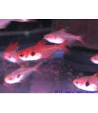 ปลาRed phontom 2.5 cm 10 ตัว