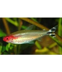 ปลารัมมีโนส  2 cm 12 ตัว