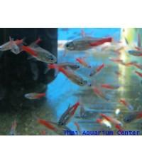 ปลานีออนไดมอน 2 cm 12 ตัว