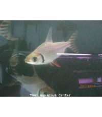 ปลาอินซิเนต 1.5 นิ้ว
