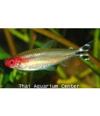 ปลารัมมีโนส  2 cm