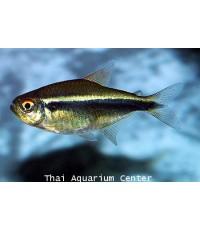 ปลานีออนดำ 2 cm