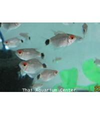 ปลามองฮ๊อกเซียสั้น 2cm
