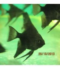 ปลาเทวดาดำ 1 นิ้ว