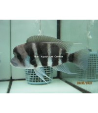 ปลาหมอฟรอนโตซ่า ขนาด 10 นิ้ว