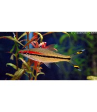 ปลาตะเพียนหน้าแดง ขนาด 1.5 นิ้ว