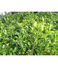 ต้นกล้าพันธุ์มะนาวแป้นเพาะด้วยเมล็ด