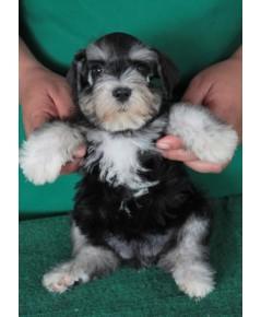 ลูกสุนัขมิเนเจอร์ ชเนาเซอร์ เพศเมีย สี สี Black Silver เชือกสีเหลือง