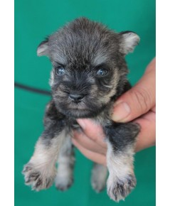 ลูกสุนัขมิเนเจอร์ ชเนาเซอร์ เพศผู้ สี Salt  Pepper เชือกคอสีน้ำเงิน