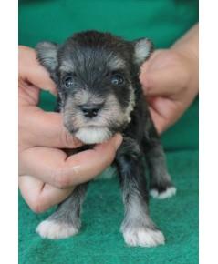 ลูกสุนัขมิเนเจอร์ ชเนาเซอร์ เพศผู้ สี Salt  Pepper เชือกคอสีชมพู