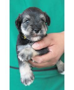 ลูกสุนัขมิเนเจอร์ ชเนาเซอร์ เพศผู้ สี Salt  Pepper เชือกคอสีเหลือง