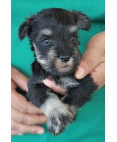 ลูกสุนัขมิเนเจอร์ ชเนาเซอร์ เพศเมีย สี Salt  Pepper เชือกคอสีน้ำตาล