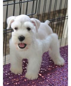ลูกสุนัขมิเนเจอร์ ชเนาเซอร์ เพศผู้  สี White เชือกสีน้ำเงิน