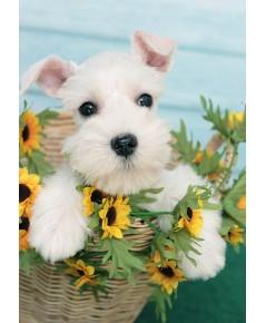 ลูกสุนัขมิเนเจอร์ ชเนาเซอร์ เพศเมีย  สี White   เชือกคอสีชมพู