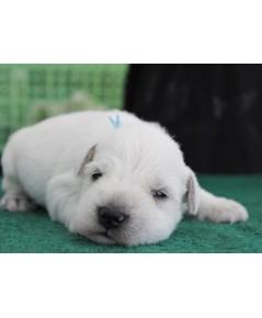 ลูกสุนัขมิเนเจอร์ ชเนาเซอร์ เพศผู้  สี White   เชือกคอสีฟ้า