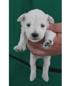 ลูกสุนัขมิเนเจอร์ ชเนาเซอร์ เพศเมีย  สี White   เชือกคอสีน้ำตาล