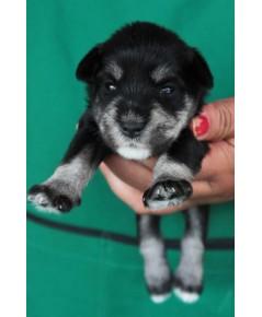 ลูกสุนัขมิเนเจอร์ ชเนาเซอร์ เพศผู้ สี Black  Silver เชือกสีเขียวสะท้อนแสง