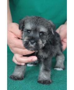 ลูกสุนัขมิเนเจอร์ ชเนาเซอร์ เพศเมีย สี Salt  Pepper เชือกคอสีขาว