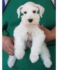 ลูกสุนัขมิเนเจอร์ ชเนาเซอร์ เพศเมีย  สี white