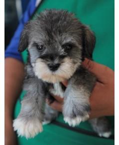 ลูกสุนัขมิเนเจอร์ ชเนาเซอร์ เพศเมีย สี Salt  Pepper เชือกคอสีเหลือง