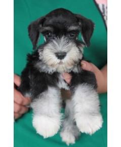 ลูกสุนัขมิเนเจอร์ ชเนาเซอร์ เพศผู้ สี Black  Silver เชือกสีฟ้า