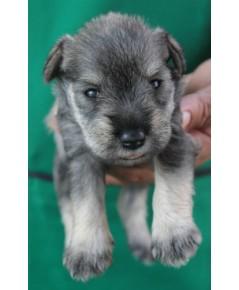ลูกสุนัขมิเนเจอร์ ชเนาเซอร์ เพศเมีย สี Salt and Pepper เชือกคอชมพู