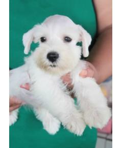 ลูกสุนัขมิเนเจอร์ ชเนาเซอร์ เพศผู้  สี White เชือกสีแดง