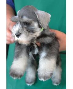 ลูกสุนัขมิเนเจอร์ ชเนาเซอร์ เพศผู้  สี Salt Pepper เชือกคอสีเขียวสะท้อนแสง
