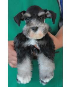 ลูกสุนัขมิเนเจอร์ ชเนาเซอร์ เพศผู้  สี Black Silver เชือกคอสีฟ้า
