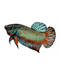 SAKURA Micro เม็ดแดง อาหารปลากัด เกรดพรีเมี่ยม บรรจุ 60 ซอง