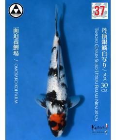 OMOSAKO TANCHO GINRIN SHIRO UTSURI [+CERTIFICATE]