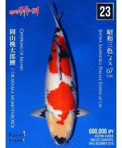 MOMOTARO SHOWA