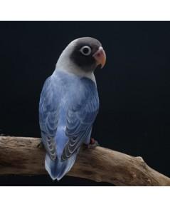 เลิฟเบิร์ด โอพาลาย โคบอล หัวดำ Lovebird Opaline Cobolt BM