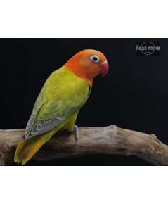 เลิฟเบิร์ด โอพาลาย เพล Lovebird Opaline Pale