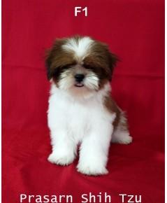 ลูกสุนัขชิสุเกิดวันที่ 6/01/2561- F1